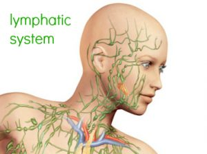 Lymphatic System Head