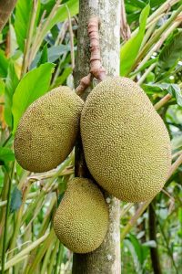 Jackfruit Hanging