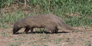 Mongoose The Most Vicious Predator in Hawaii