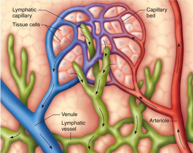 what is the lymphoid system