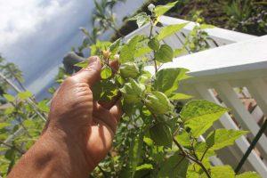 Golden Berry Pods with Golden Berries