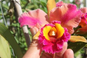 Hawaiian Hybrid Orchid With Fragrance