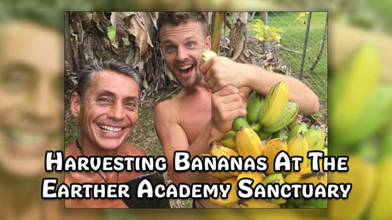 Harvesting Bananas At The Earther Academy Sanctuary