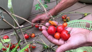 Organic Tomatoes From The Earth Shift Garden