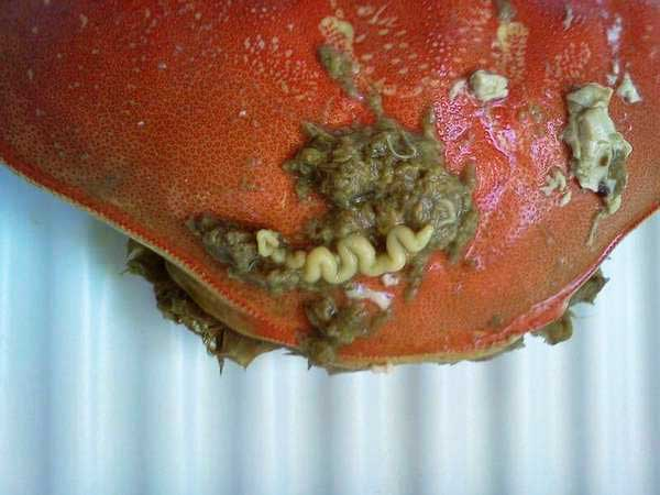 Parasites in a Crab