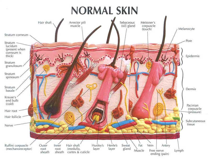 Normal Skin Layers