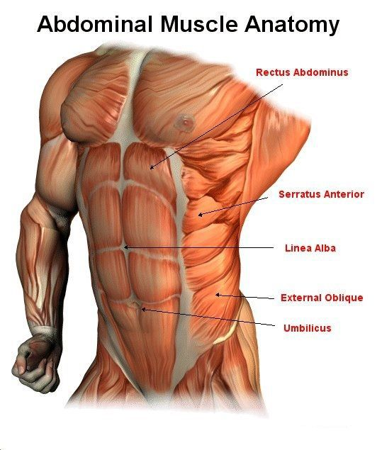 Abdominal Muscle Anatomy