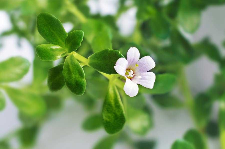 Single Bacopa Flower