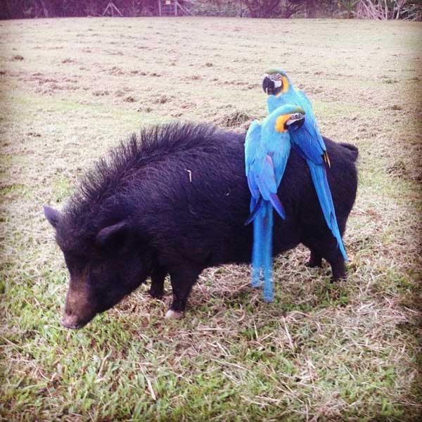Russian Boar Hanging With Macaws