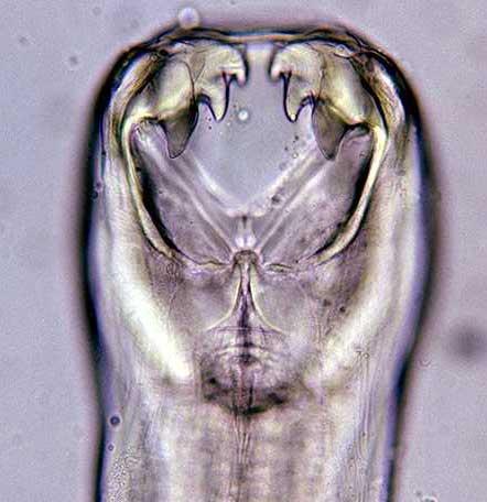Teeth of the Hookworm