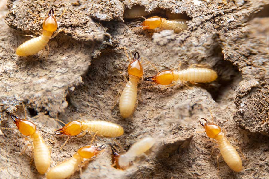 Group of the small termite on decaying timber