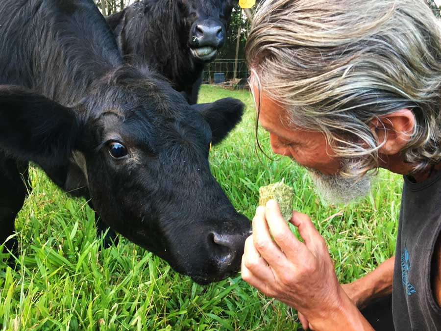 Robert Cassar Feeding his Cows