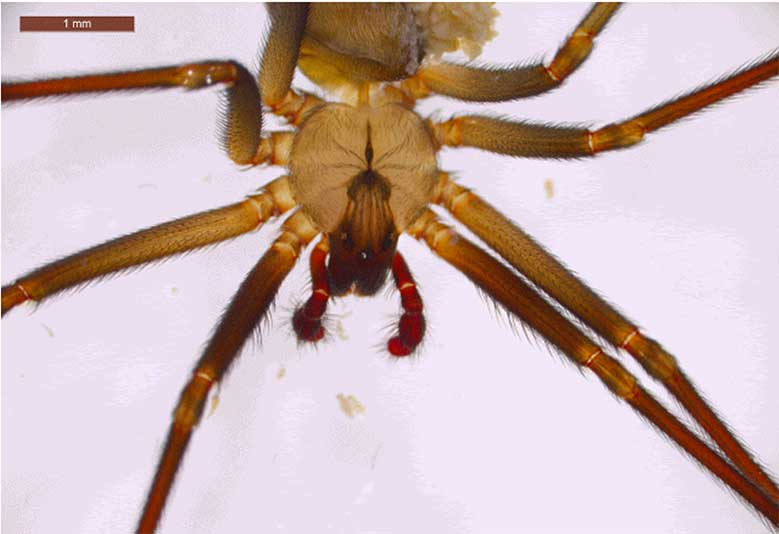 Brown Recluse Spider with Violin Back