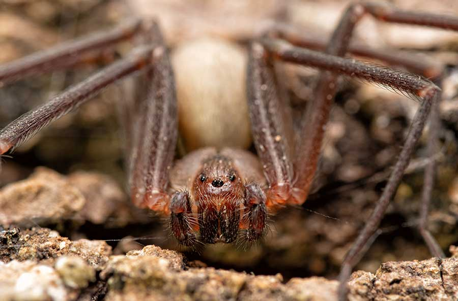 Front closeup of a Brown Recluse spider
